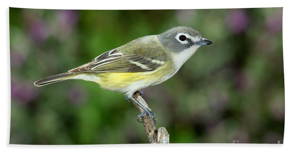 Fauna Hand Towel featuring the photograph Blue-headed Vireo by Anthony Mercieca