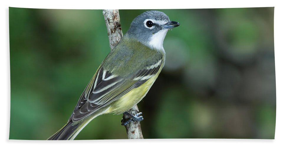 Fauna Hand Towel featuring the photograph Blue-headed Vireo Vireo Solitarius by Anthony Mercieca