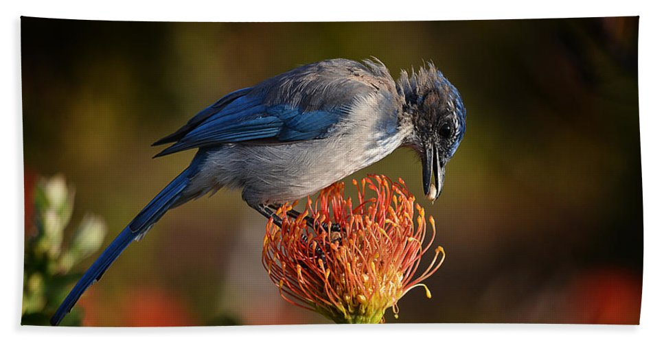 Avian Bath Sheet featuring the photograph Blue Jay 1 by Xueling Zou