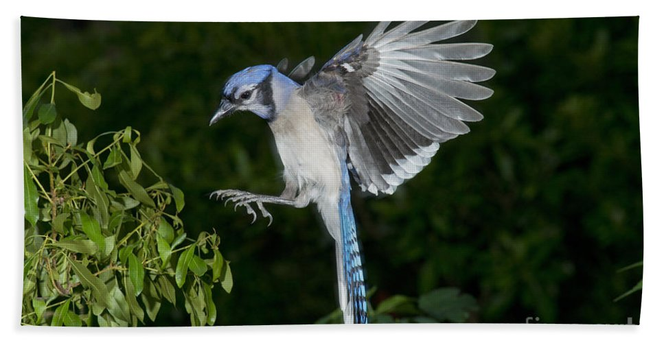 Blue Jay Hand Towel featuring the photograph Blue Jay by Anthony Mercieca