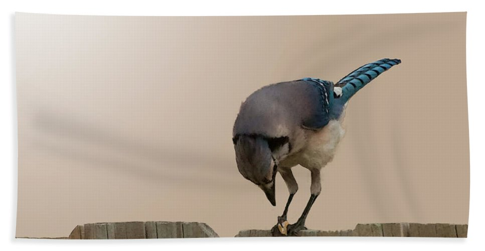 Blue Hand Towel featuring the photograph Blue Jay Eating Corn by Photos By Cassandra