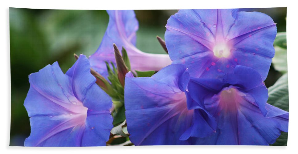Convolvulaceae Bath Sheet featuring the photograph Blue Morning Glory Wildflowers - Convolvulaceae by Kathy Clark
