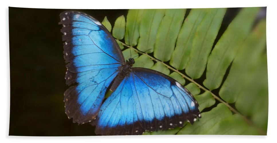 Blue Bath Sheet featuring the photograph Blue Morpho Butterfly On Fren Dsc00441 by Greg Kluempers