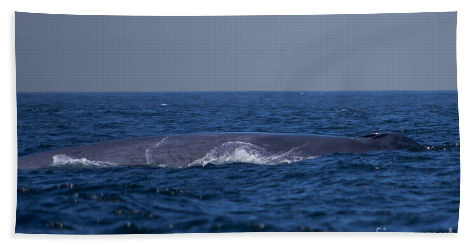 Blue Whale Bath Sheet featuring the photograph Blue Whale by Tommy Anderson