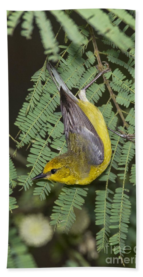 Blue-winged Warbler Hand Towel featuring the photograph Blue-winged Warbler by Anthony Mercieca