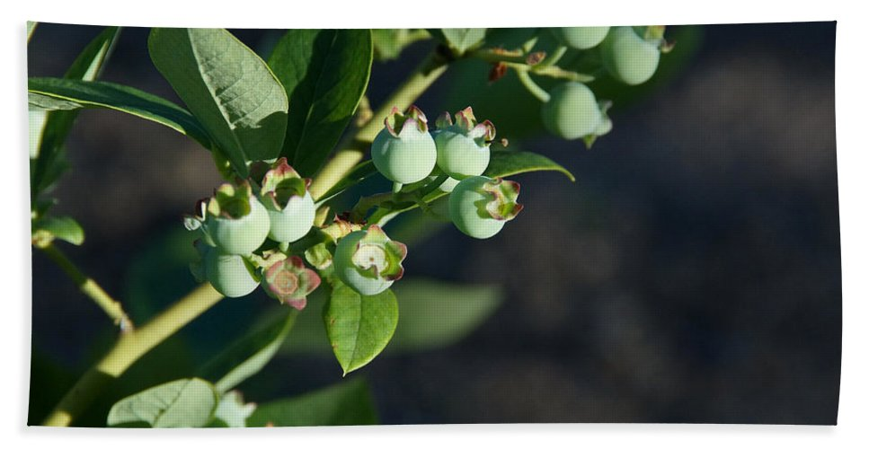 Blueberry Hand Towel featuring the photograph Blueberry Branch by Mick Anderson