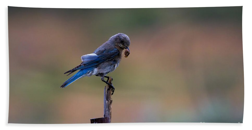 Mountain Bluebird Bath Sheet featuring the photograph Bluebird Lunch by Mike Dawson