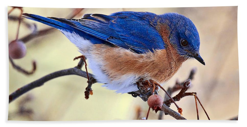 Birds Hand Towel featuring the photograph Bluebird by Marcia Colelli