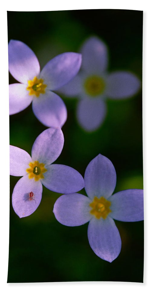 Bluet Hand Towel featuring the photograph Bluets With Aphid by Marty Saccone