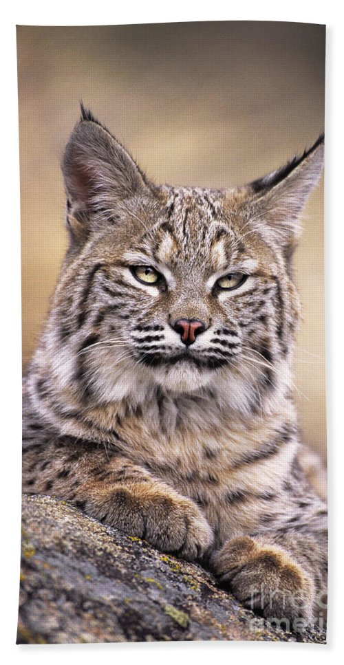 Bobcat Hand Towel featuring the photograph Bobcat Cub Portrait Montana Wildlife by Dave Welling