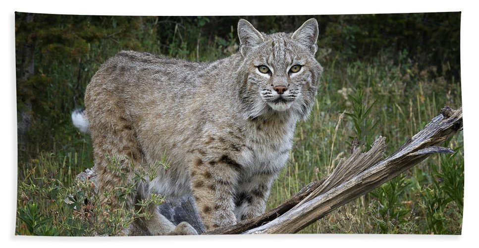 Bobcat Bath Sheet featuring the photograph Bobcat On The Prowl by Elaine Haberland