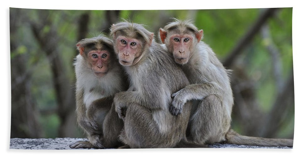 Thomas Marent Bath Towel featuring the photograph Bonnet Macaque Trio Huddling India by Thomas Marent