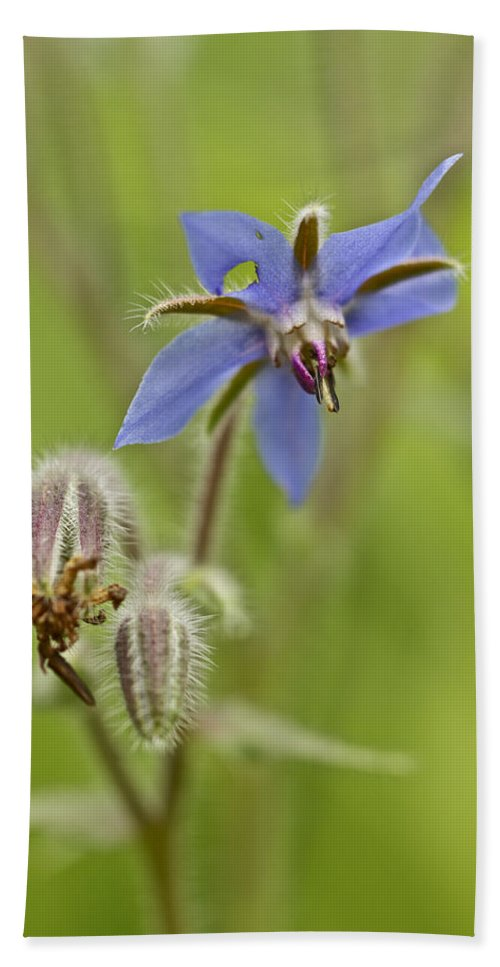 Borage Hand Towel featuring the photograph Borage Wildflower - Borage Officinalis - Annual Herb by Mother Nature