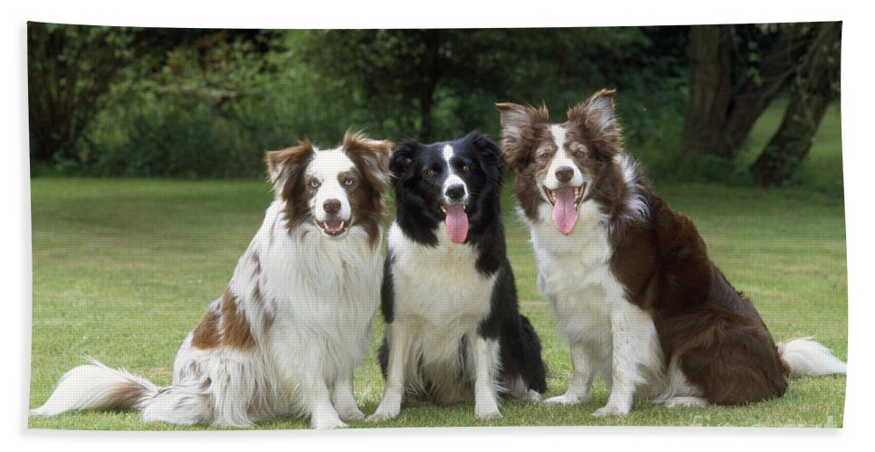 Border Collie Bath Sheet featuring the photograph Border Collie Dogs by John Daniels