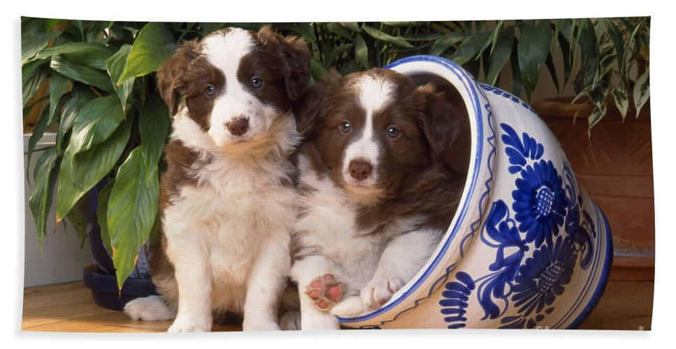 Border Collie Bath Sheet featuring the photograph Border Collie Puppies In Plant Pot by John Daniels