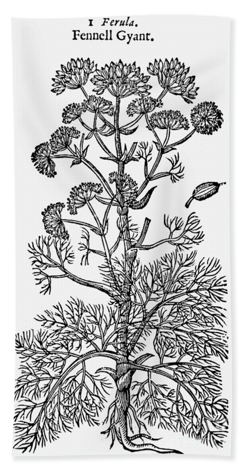 1597 Bath Sheet featuring the photograph Botany: Giant Fennel, 1597 by Granger