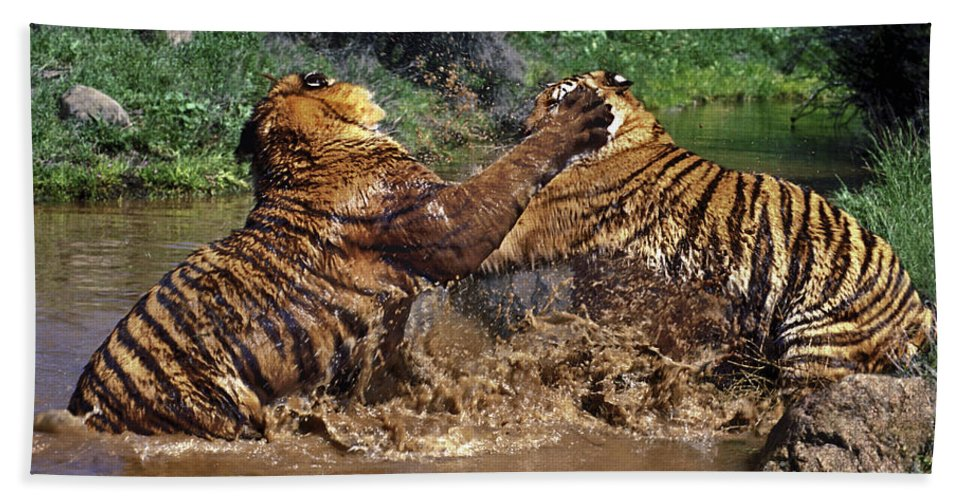 Bengal Tigers Bath Sheet featuring the photograph Boxing Bengal Tigers Wildlife Rescue by Dave Welling