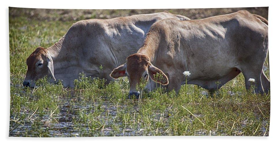 Brahman Cattle Hand Towel featuring the photograph Brahman Cattle At The Waterhole by Douglas Barnard