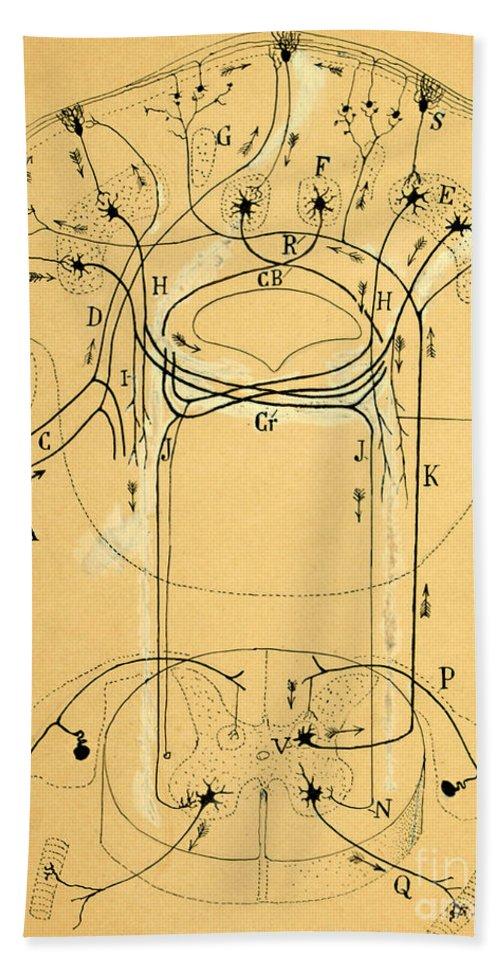 Vestibular Connections Bath Towel featuring the photograph Brain Vestibular Sensor Connections By Cajal 1899 by Science Source