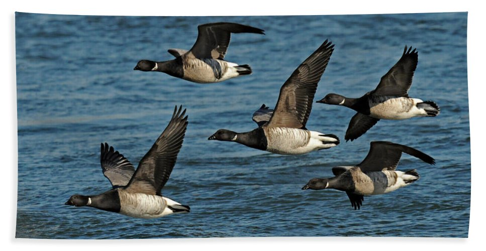 Brandt Geese Bath Sheet featuring the photograph Brandt Geese by Dave Mills