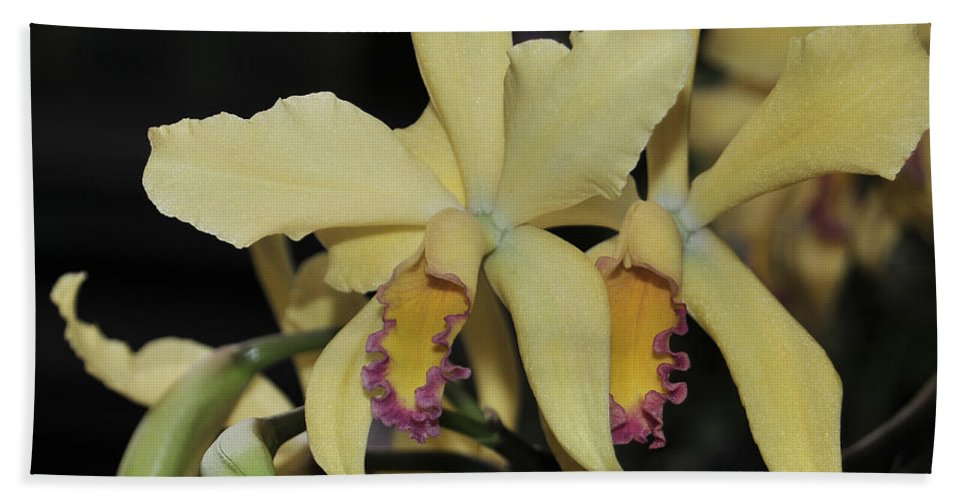 Orchid Bath Sheet featuring the photograph Brassolaeliocattleya Grodsky's Gold by Terri Winkler