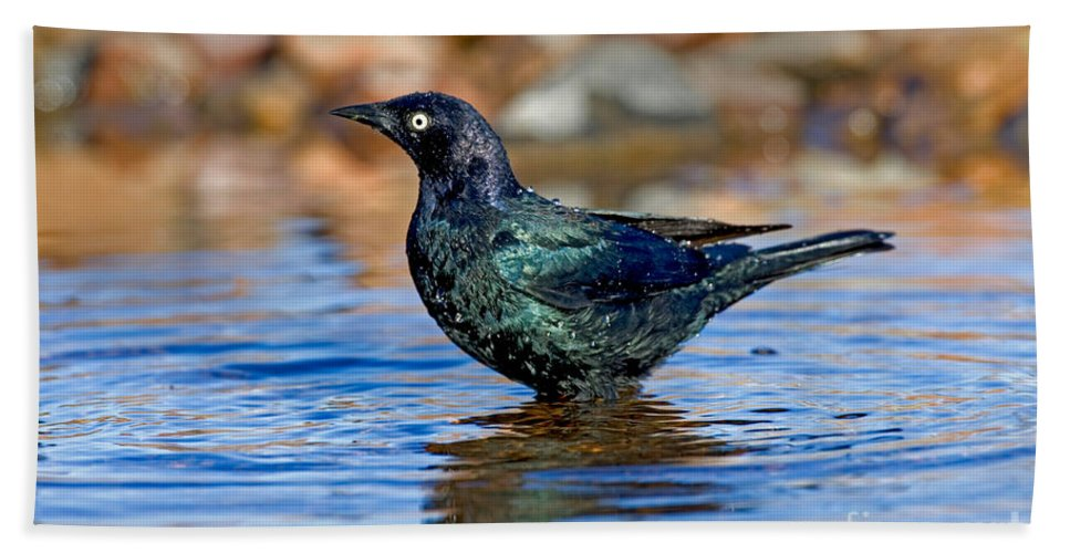 Fauna Hand Towel featuring the photograph Brewers Blackbird In Water by Anthony Mercieca
