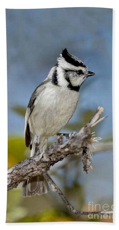 Bridled Titmouse Hand Towel featuring the photograph Bridled Titmouse by Anthony Mercieca