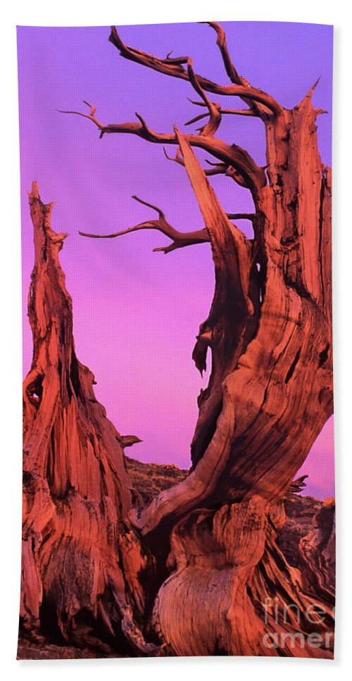 Bristlecone Bath Towel featuring the photograph Bristlecone Pine At Sunset White Mountains Californa by Dave Welling