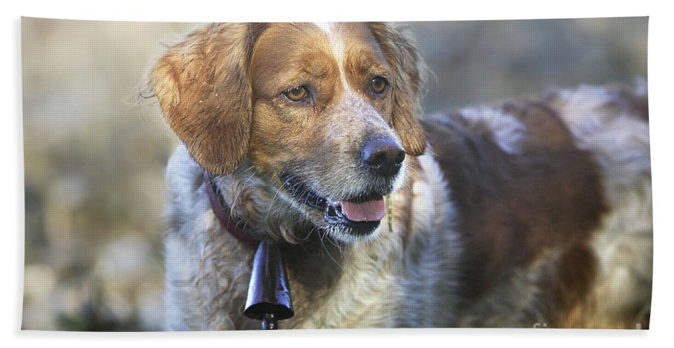 Brittany Spaniel Bath Sheet featuring the photograph Brittany Spaniel by M. Watson