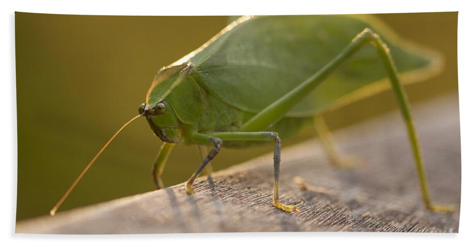 Broad-winged Katydid Hand Towel featuring the photograph Broad-winged Katydid by Meg Rousher