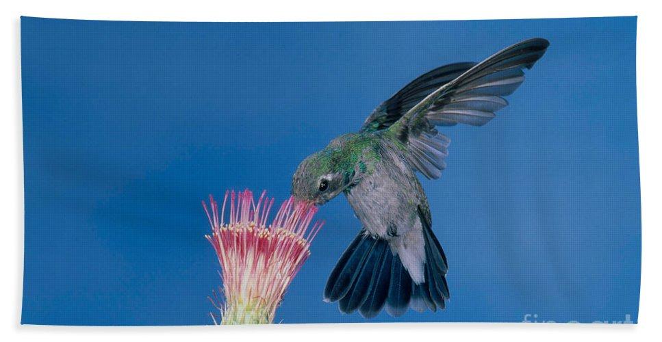 Fauna Hand Towel featuring the photograph Broadbill Hummingbird Feeding At Flower by Anthony Mercieca