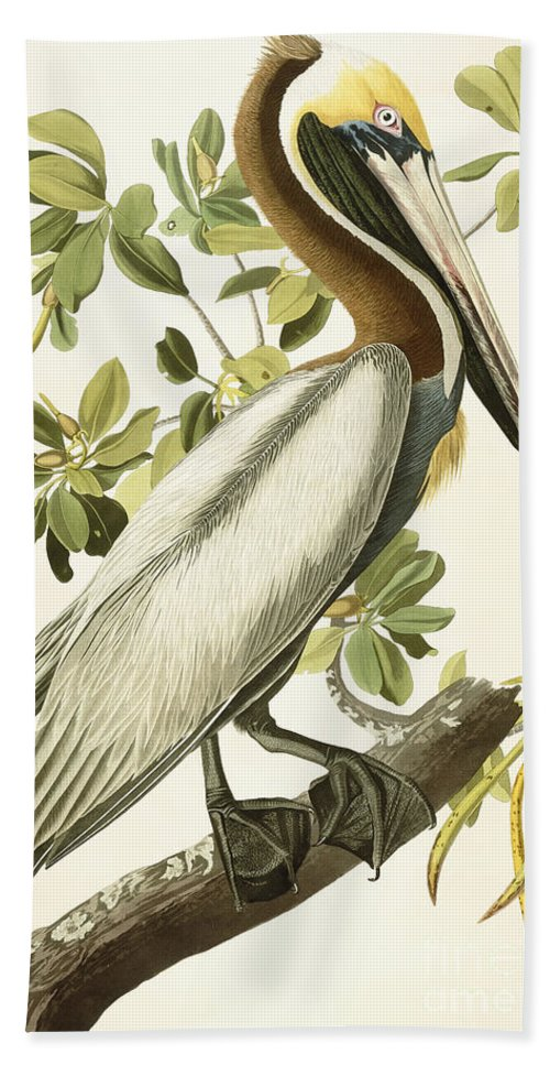 Brown Pelican Bath Towel featuring the painting Brown Pelican by John James Audubon