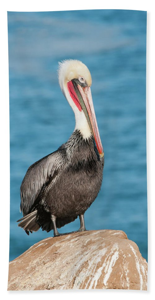 Nature Hand Towel featuring the photograph Brown Pelican Pelecanus Occidentalis by Josh Miller Photography