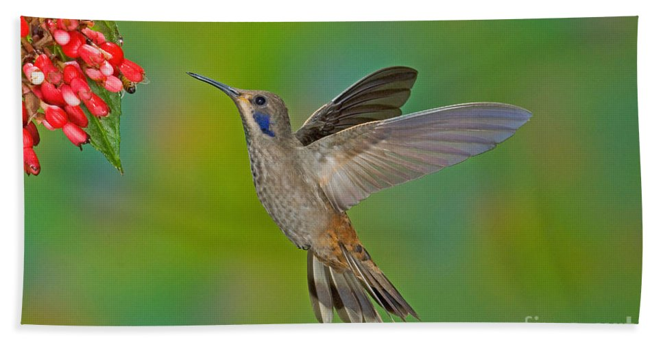 Fauna Hand Towel featuring the photograph Brown Violet-ear Hummingbird by Anthony Mercieca