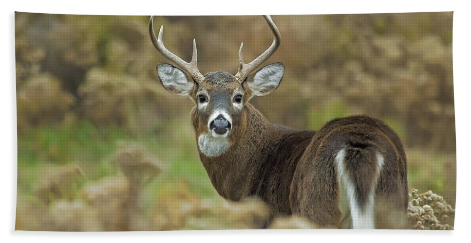 White-tailed Deer Hand Towel featuring the photograph Buck Fever by John Vose