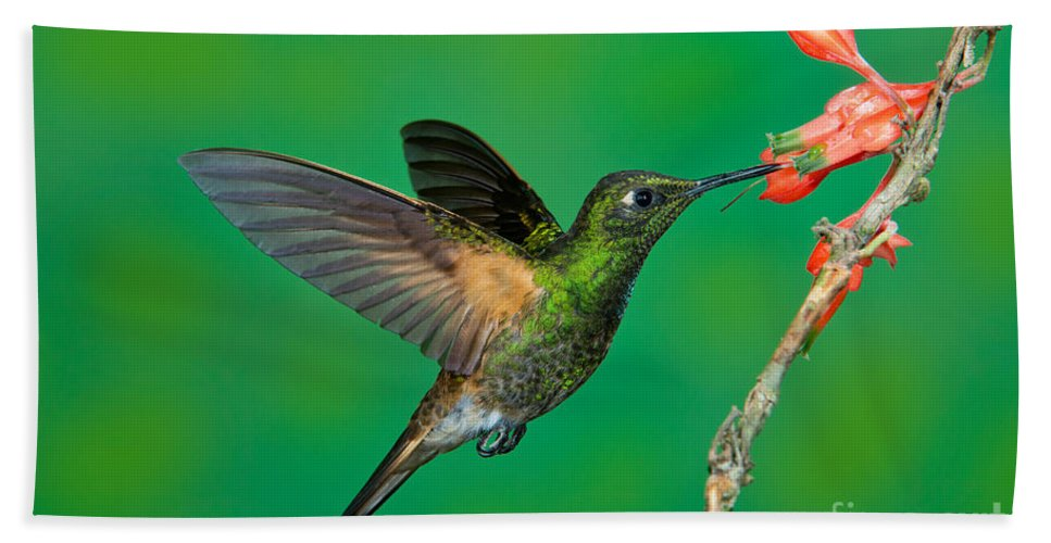 Buff-tailed Coronet Hand Towel featuring the photograph Buff-tailed Coronet by Anthony Mercieca
