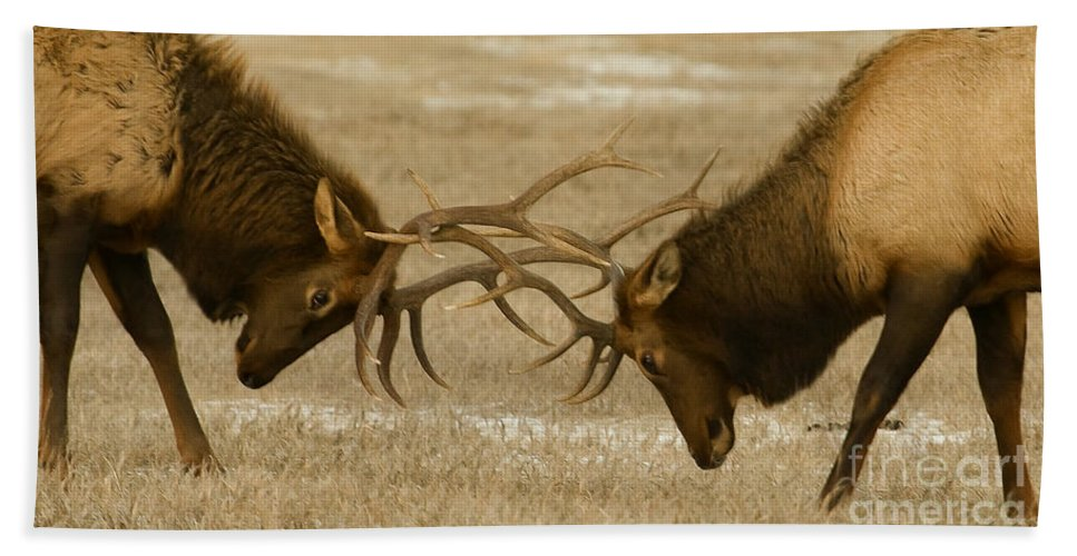 Elk Hand Towel featuring the photograph Bull Elk In The Rut  #8924 by J L Woody Wooden