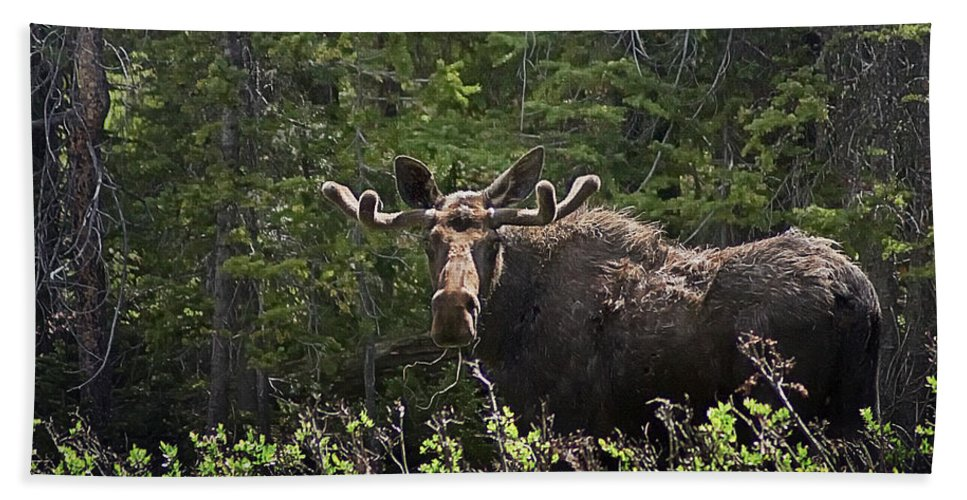 Moose Hand Towel featuring the photograph Bull Moose by Priscilla Burgers