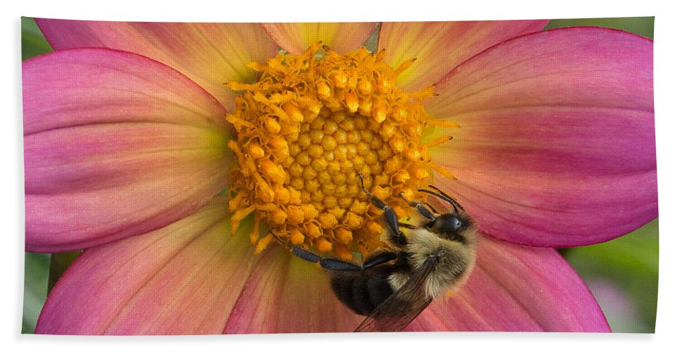Minnesota Landscape Arboretum Hand Towel featuring the photograph Bumble Bee Dahlia by Joan Wallner
