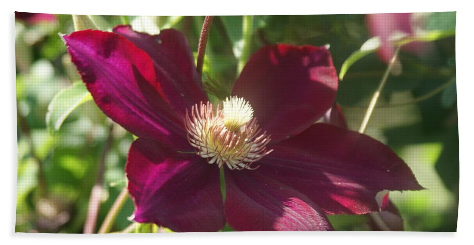 Burgundy Bath Sheet featuring the photograph Burgundy Clematis Profile  # by Rob Luzier