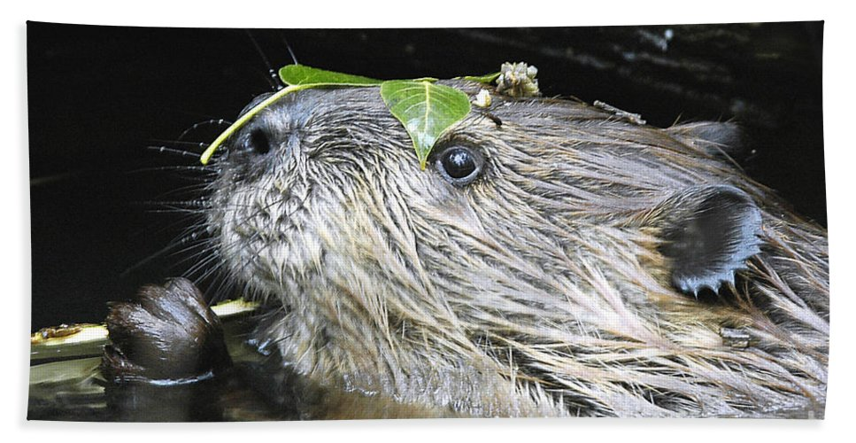 Beaver Hand Towel featuring the photograph Busy Beaver by Gary Beeler