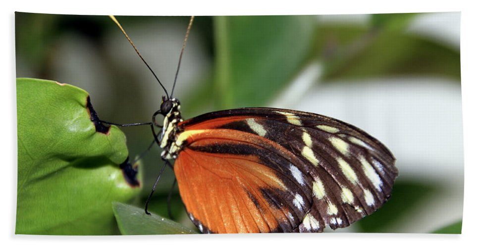 Butterfly Hand Towel featuring the photograph Key West Butterfly 2 by Bob Slitzan