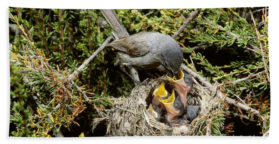 Animal Hand Towel featuring the photograph California Gnatcatcher Feeding Young by Anthony Mercieca