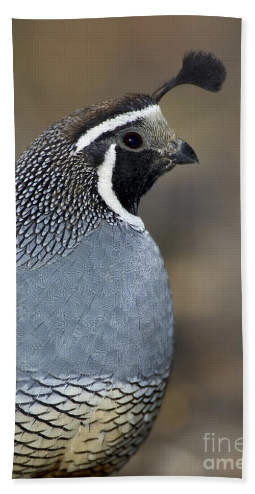 Animal Hand Towel featuring the photograph California Quail by Anthony Mercieca