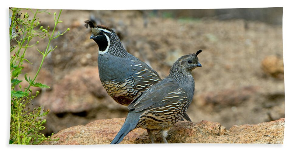Nature Hand Towel featuring the photograph California Quail Pair On Rock by Anthony Mercieca