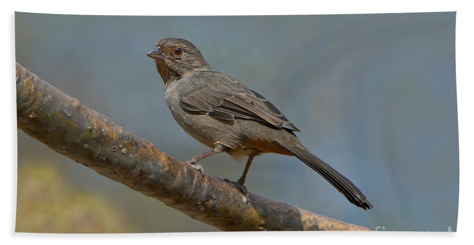 Fauna Hand Towel featuring the photograph California Towhee by Anthony Mercieca
