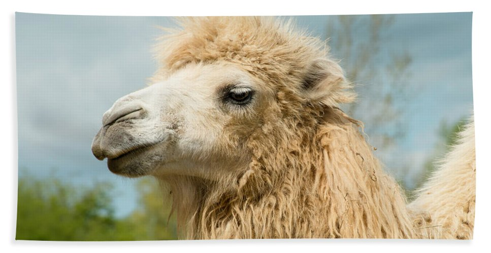 Camel Hand Towel featuring the photograph Camel by TouTouke A Y