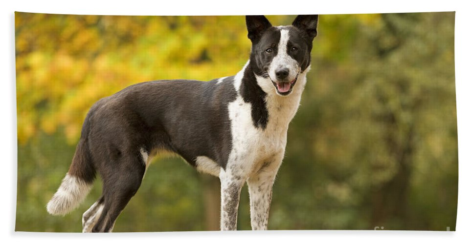 Canaan Dog Bath Sheet featuring the photograph Canaan Dog by Jean-Michel Labat