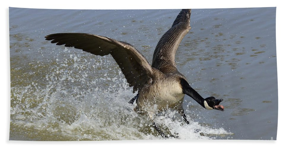 Canada Goose Hand Towel featuring the photograph Canada Goose Touchdown by Bob Christopher