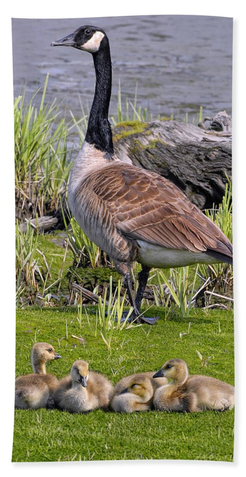 Canada Goose Bath Sheet featuring the photograph Canada Goose With Young by Dave Mills